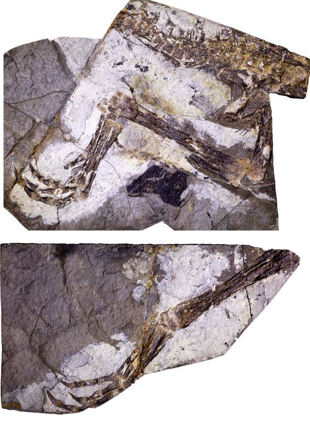 河北丰宁发现恐龙新物种:体型如鸡却凶猛异常